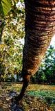 Fallen coconut trees stock image