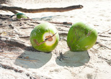 Fallen coconuts. Some coconuts on a tropical beach Royalty Free Stock Photo