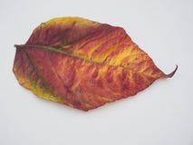 Fallen colorful autumn leaf on white background. Yellow, green, royalty free stock photo