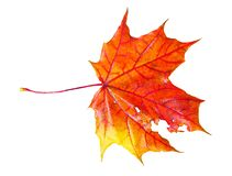 Fallen colourful autumn maple leaf isolated. On white background royalty free stock photos