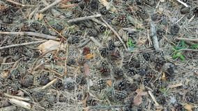 Fallen cones on the dry needles, ground surface in the forest. Closeup pan view. Natural background, ecology theme. Sunny summer day stock footage