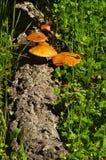 Fallen cork tree log with mushrooms - Gymnopilus suberis Royalty Free Stock Photo