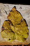 Fallen Cottonwood Leaf Royalty Free Stock Photos