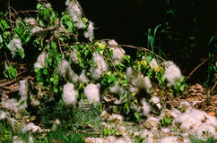 Fallen Cottonwood Seed Clumps Royalty Free Stock Image