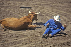Fallen cowboy at rodeo with steer, Santa Barbara, CA Stock Photos