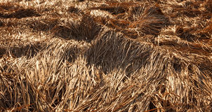 Fallen crops on the field Royalty Free Stock Image