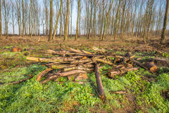Fallen and cut branches in the foreground of a forest Royalty Free Stock Photography