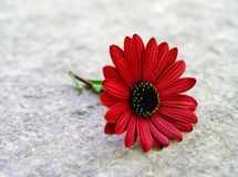 Fallen daisy. A colorful daisy on a floor royalty free stock images