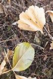 Fallen dead leaves Royalty Free Stock Photo