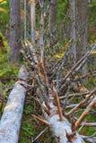 Fallen dead tree in woods Royalty Free Stock Photos