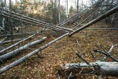 Fallen dead trees Stock Image