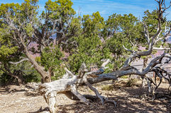 Fallen dormant tree in Grand Canyon Royalty Free Stock Photography