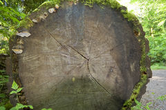 Fallen Douglas Fir Stock Images