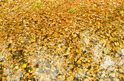 The fallen down autumn leaves Royalty Free Stock Photography