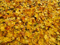 The fallen down autumn leaves Royalty Free Stock Images