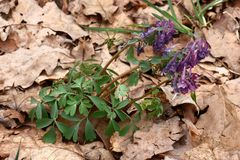 Wild corydalis. Among the fallen down foliage of an oak there is a blossoming plant a corydalis Royalty Free Stock Photography