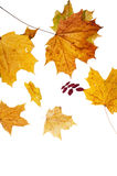 The fallen down leaves Stock Photo