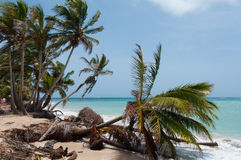 Fallen down Palm Tree in the wind on caribbean Stock Photography