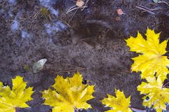 The fallen down yellow leaves Royalty Free Stock Photo