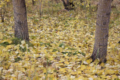 The fallen-down yellow poplar leaves Stock Photos