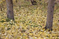 The fallen-down yellow poplar leaves Stock Photos