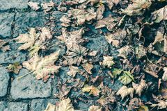 Fallen and dried up autumn leaves lie on a stone pavement, the c stock images
