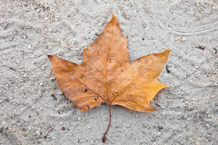 Fallen dry leaf for incoming autumn. A lone fallen leaf on the ground Stock Photography