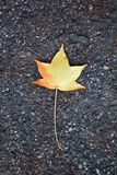 Fallen dry leaf for incoming autumn. A lone fallen leaf on the ground Royalty Free Stock Image
