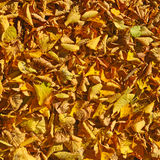 Fallen dry leaves Stock Images