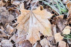 Fallen dry leaves covered with hoarfrost Royalty Free Stock Images