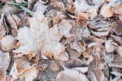 Fallen dry leaves covered with hoarfrost Royalty Free Stock Photography