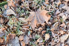 Fallen dry leaves covered with hoarfrost. Frozen maple leaf and birch leaf Royalty Free Stock Photography