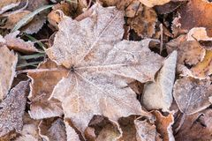 Fallen dry leaves covered with hoarfrost. Frozen maple leaf and birch leaf Stock Image