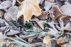 Fallen dry leaves covered with hoarfrost Stock Images