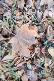 Fallen dry leaves covered with hoarfrost. Frozen maple leaf and birch leaf Stock Photography