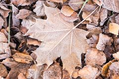 Fallen dry leaves covered with hoarfrost. Frozen maple leaf and birch leaf Royalty Free Stock Images