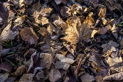 Fallen dry leaves covered hoarfrost frozen maple leaf birch leaf Stock Photography