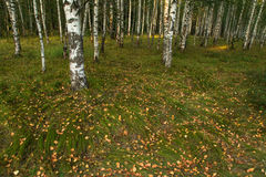 Fallen dry leaves on the grass in birch forest in autumn Stock Photos