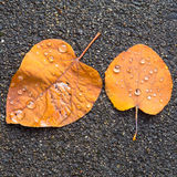 Fallen dry leaves with rain drops on them Royalty Free Stock Photography