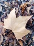 Fallen dry maple leaf close-up. Ndry maple leaf on fallen leaves in autumn photographed close-up on the ground Stock Photography