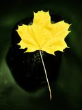 Fallen dry maple leaf on water, leaf stick on stone in stream Royalty Free Stock Photo