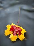 Fallen dry maple leaf on water, leaf stick on stone in stream Stock Photo