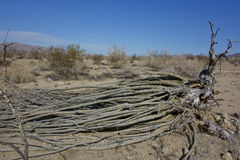 Fallen Dry Ocotillo royalty free stock photo