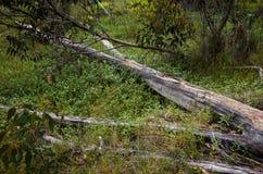 Fallen Eucalyptus Tree the Australian bush royalty free stock photography
