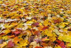 Fallen Fall Color Leaves on Parks Ground. Fallen leaves covering parks garden ground in Fall season foliage color Stock Photography