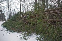 Fallen fir Royalty Free Stock Image