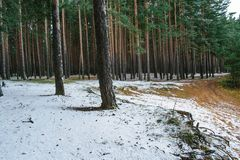Fallen the first snow in a pine forest stock photos