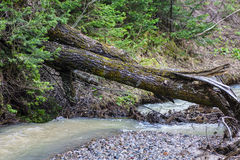 fallen flodtree Arkivbild