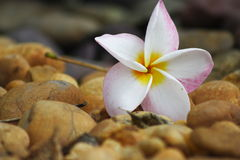 Fallen Flower. The photo of flower that fall on the plain of stone Royalty Free Stock Photo