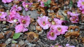Fallen Flower Blossoms stock video footage